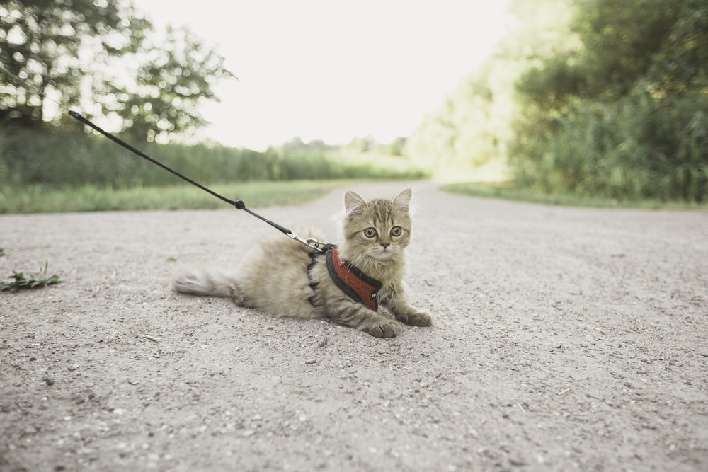 brown cat with harness on ground