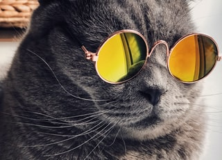 Russian blue cat wearing yellow sunglasses