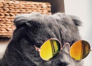 Russian blue cat wearing yellow sunglasses