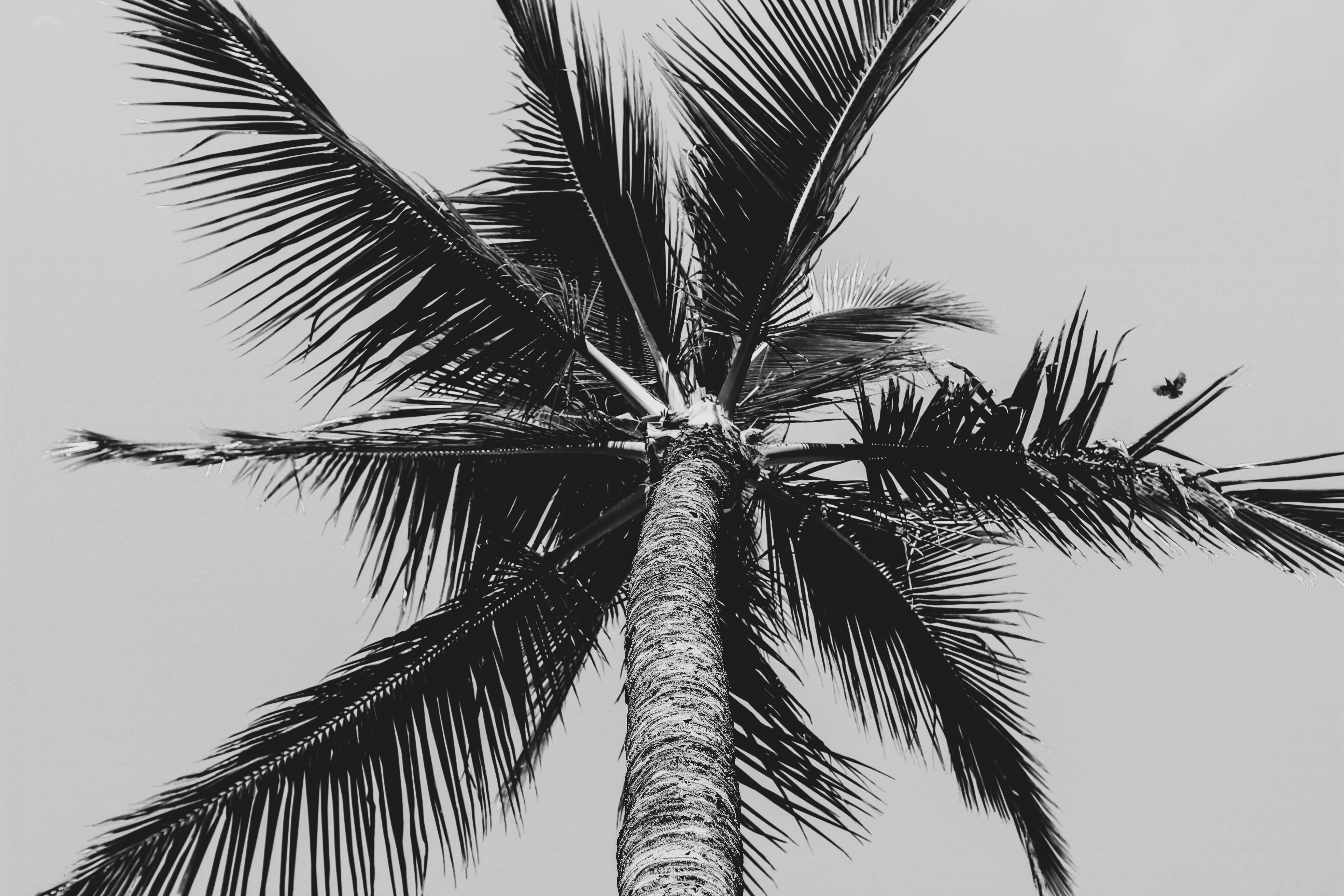 grayscale low angle photography of coconut palm tree