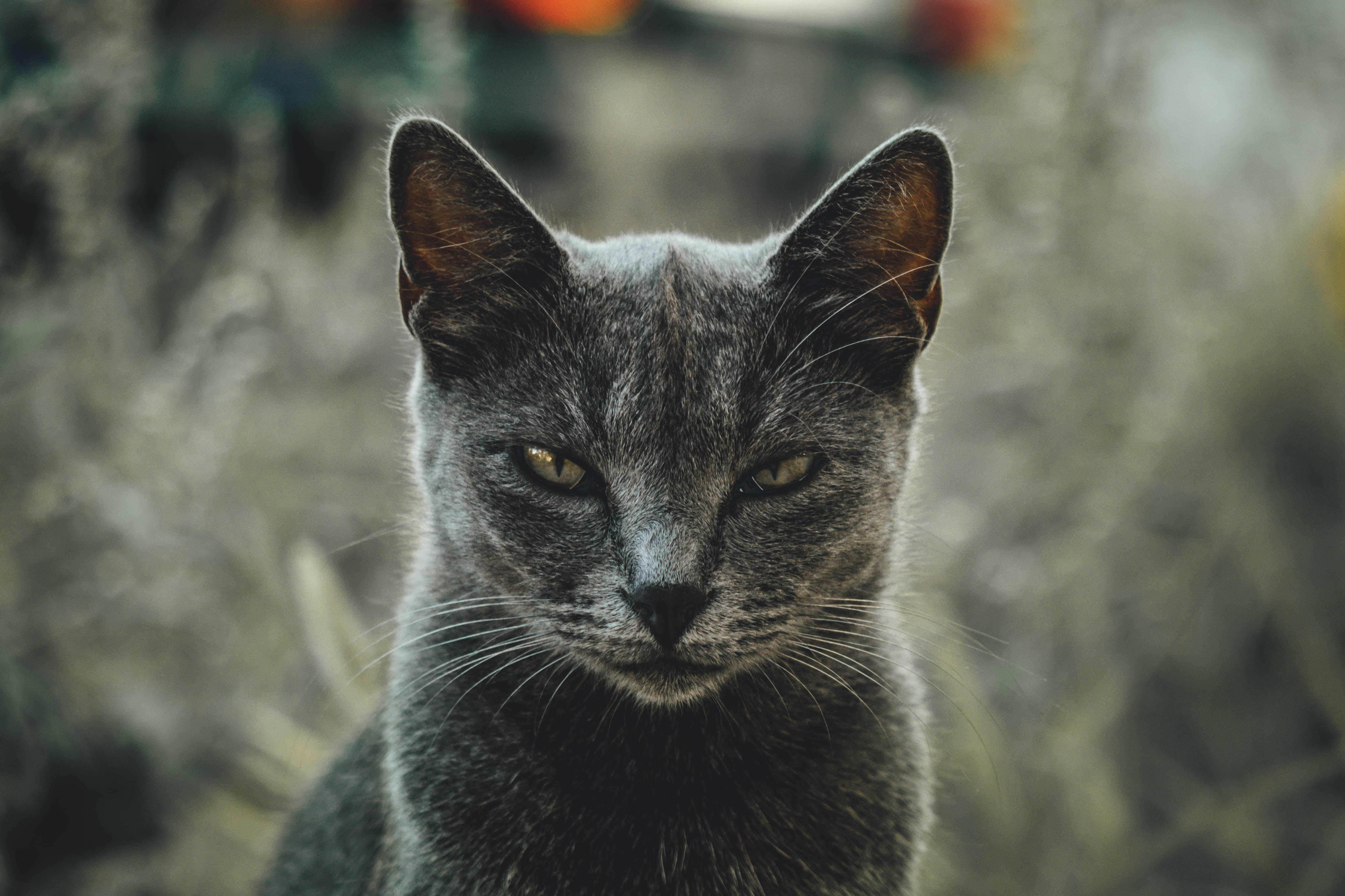 shallow focus photography of gray cat