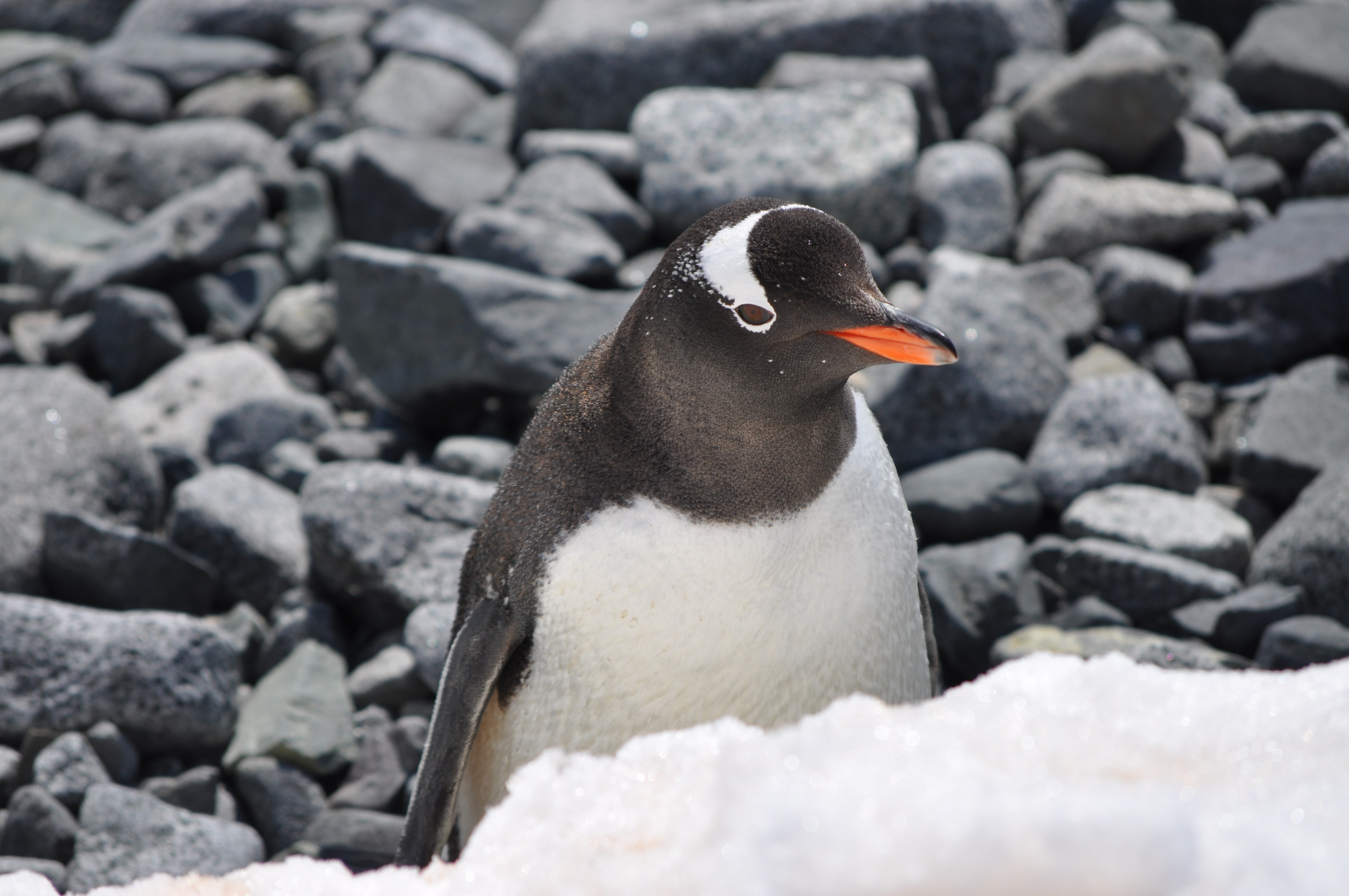 Penguin in front of snow