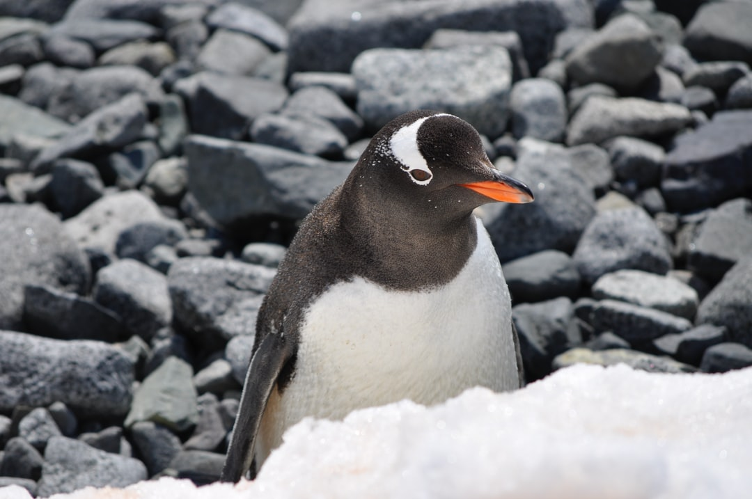I shot this penguin on my vacation in the Artartic Pole; he was taking a sunbath.