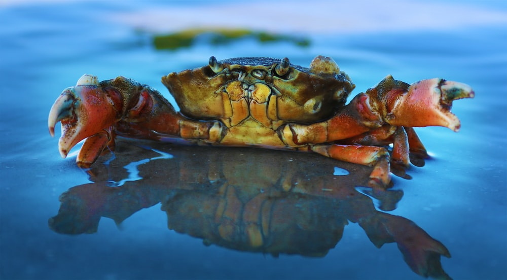orange crab on body of water
