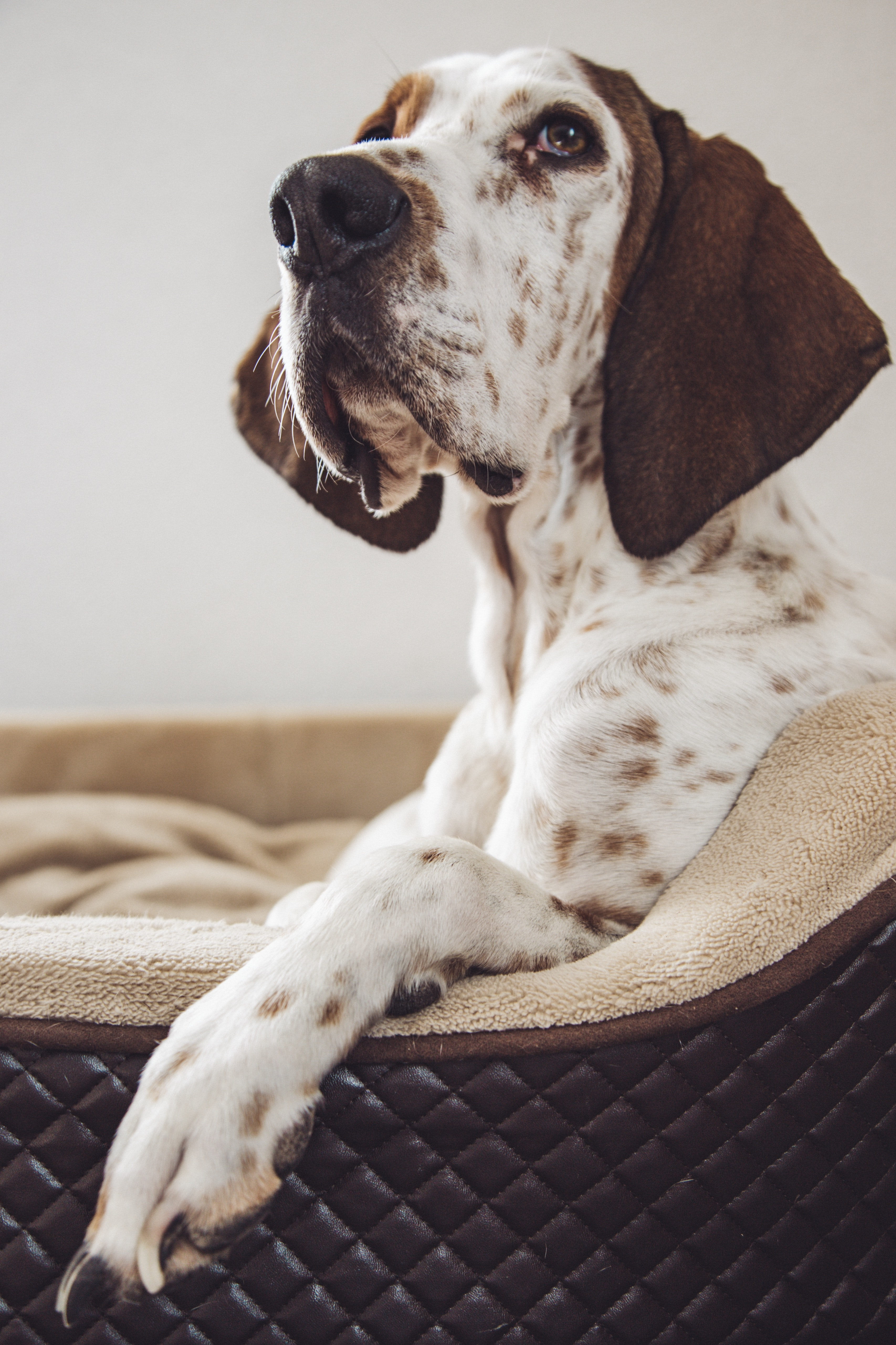 white and brown dog sitting on gray and black couch