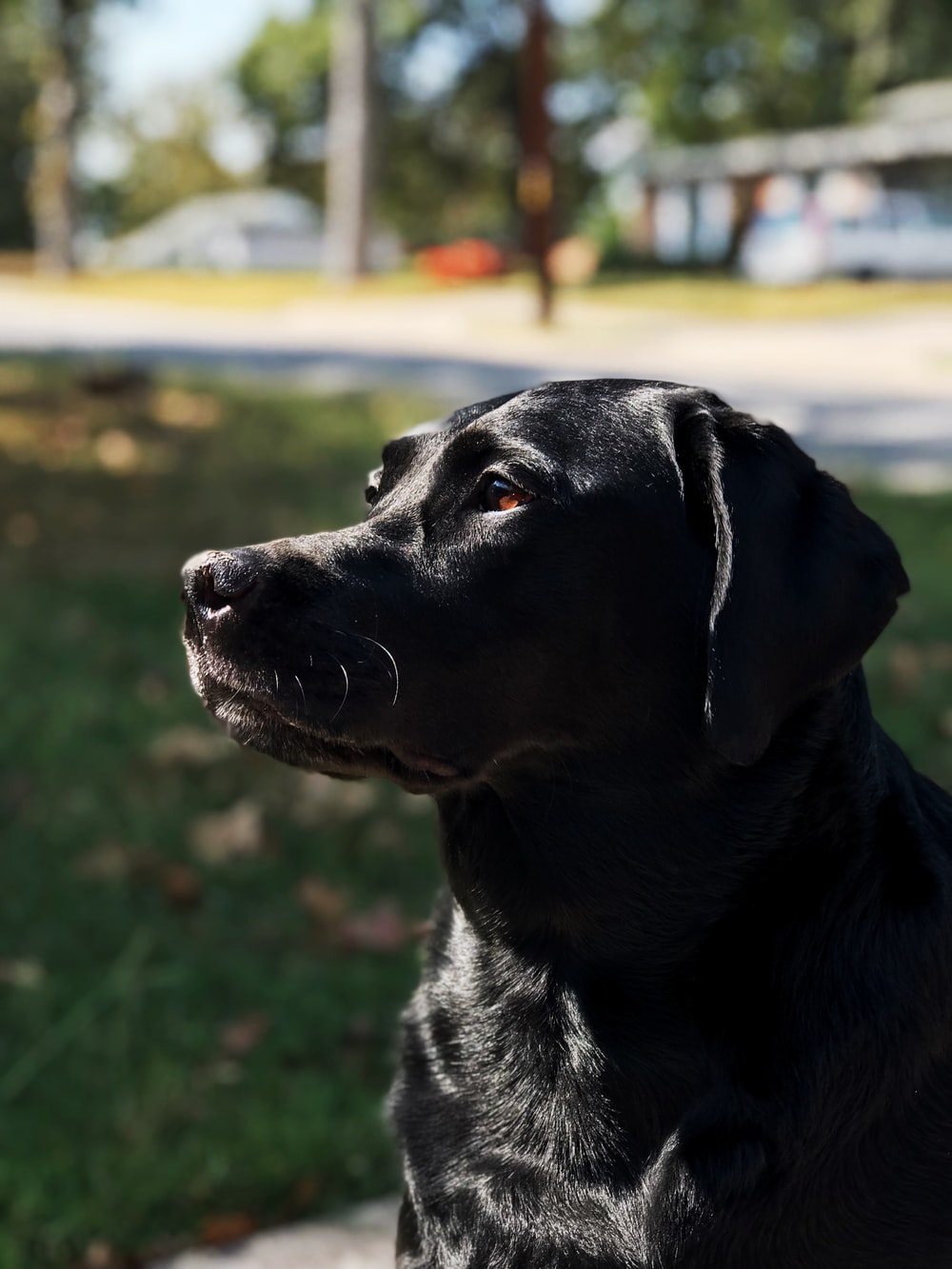 black Labrador retriever sitting outdoor