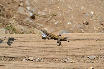 A lizard in the summer sun. Photo taken on July 30, 2016 in Montségur ariège in France.