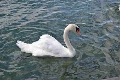 Swan in a lake. Photo taken on 13 July 2016 at Leman Lake Geneva, Switzerland