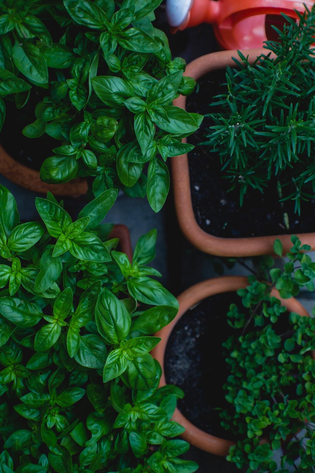 Homegrown herbs, basil and thyme. Urban Gardening & Self-Supply.
