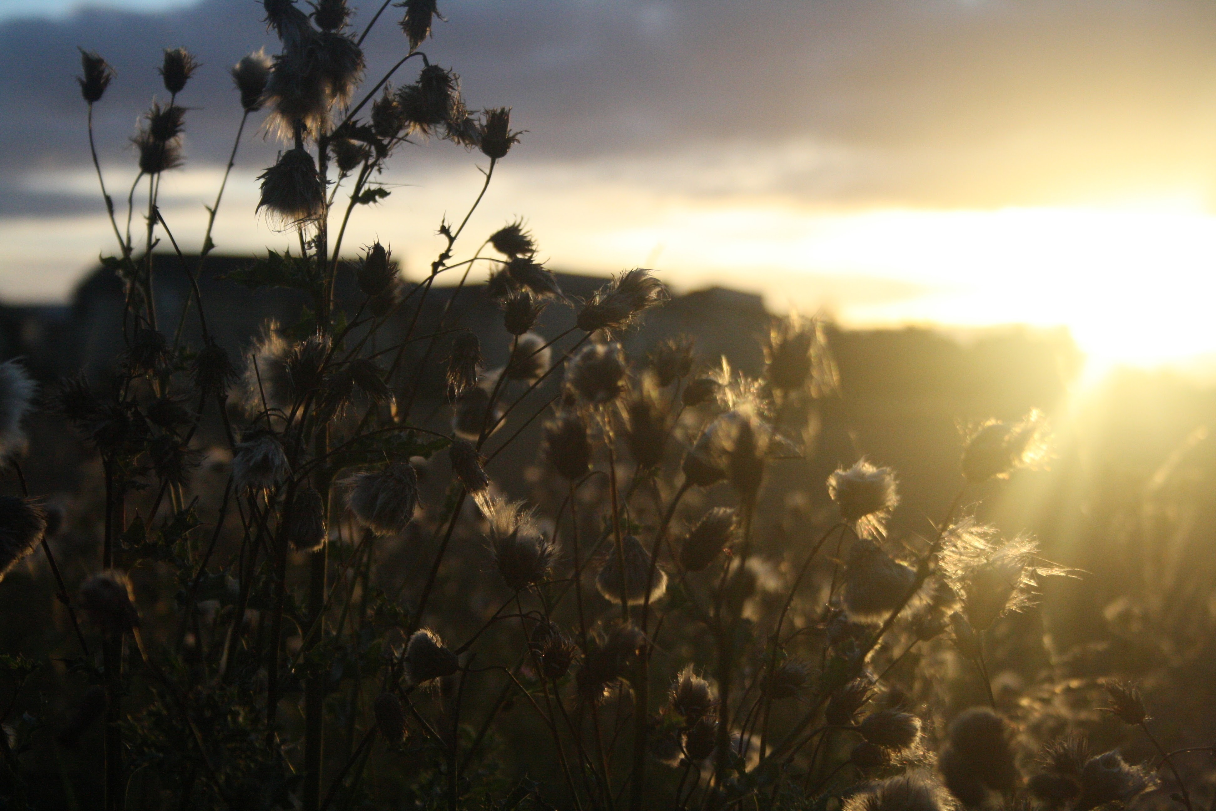 silhouette of tall grass with buds