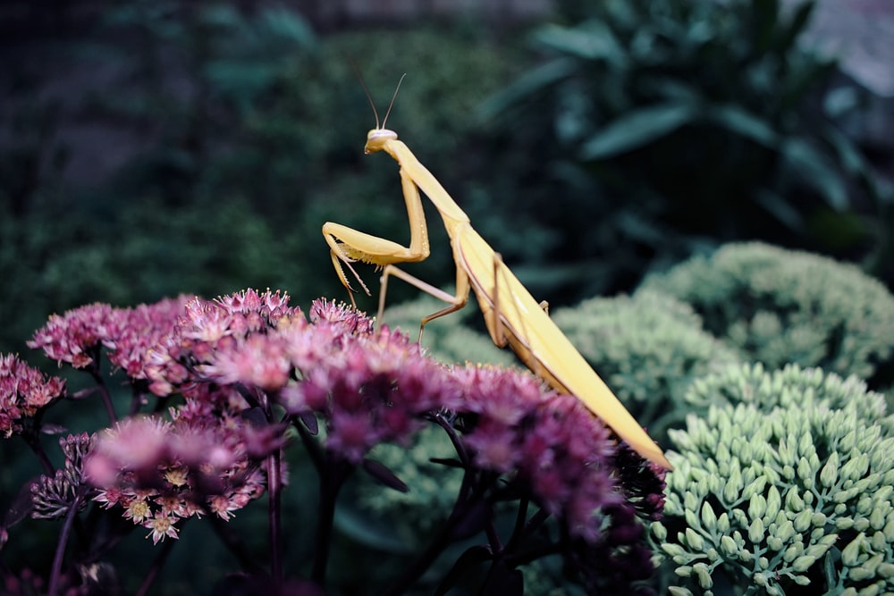 brown praying mantis perched on flower