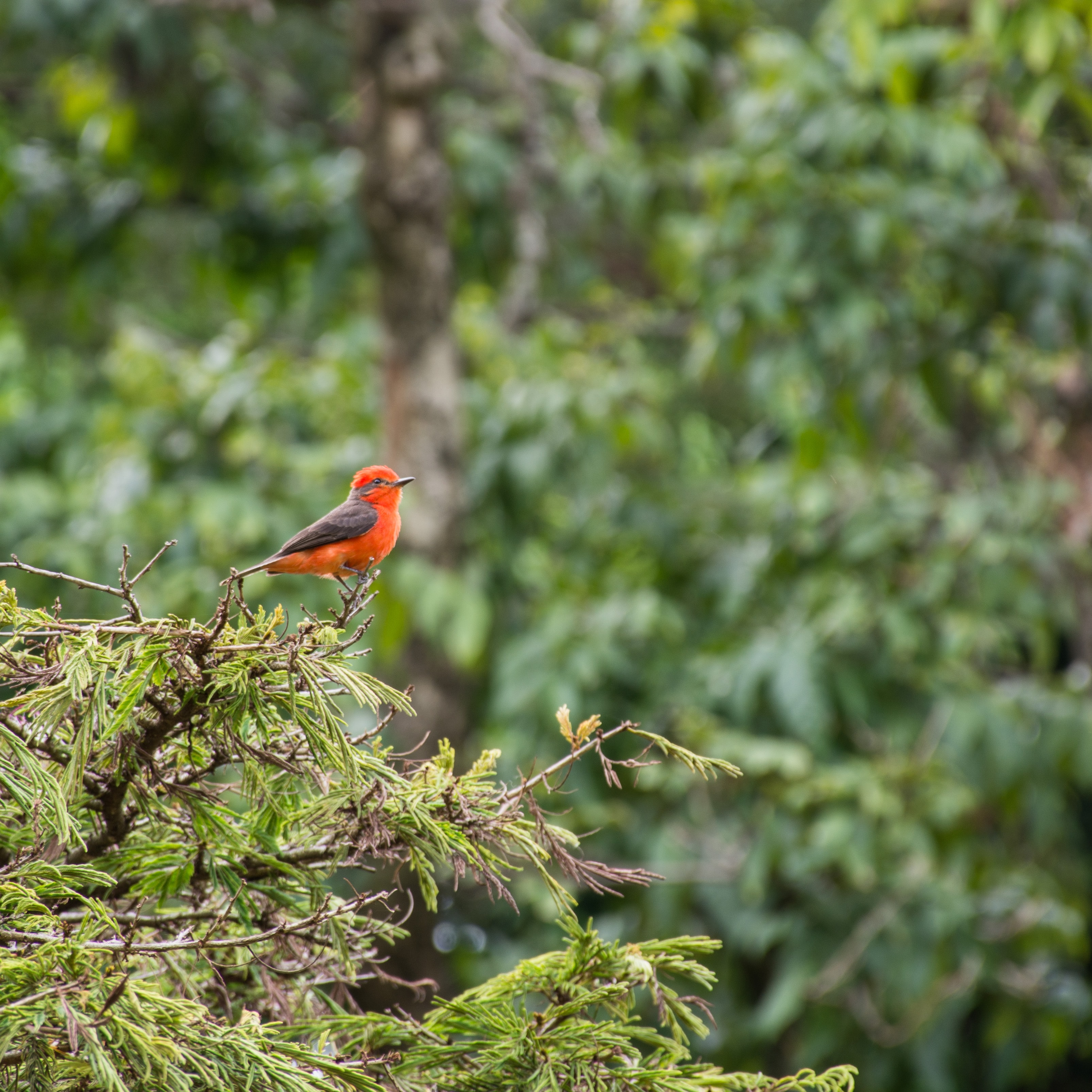 red and gray bird perched on tree