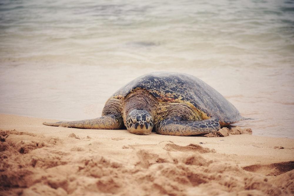 brown turtle on seashore