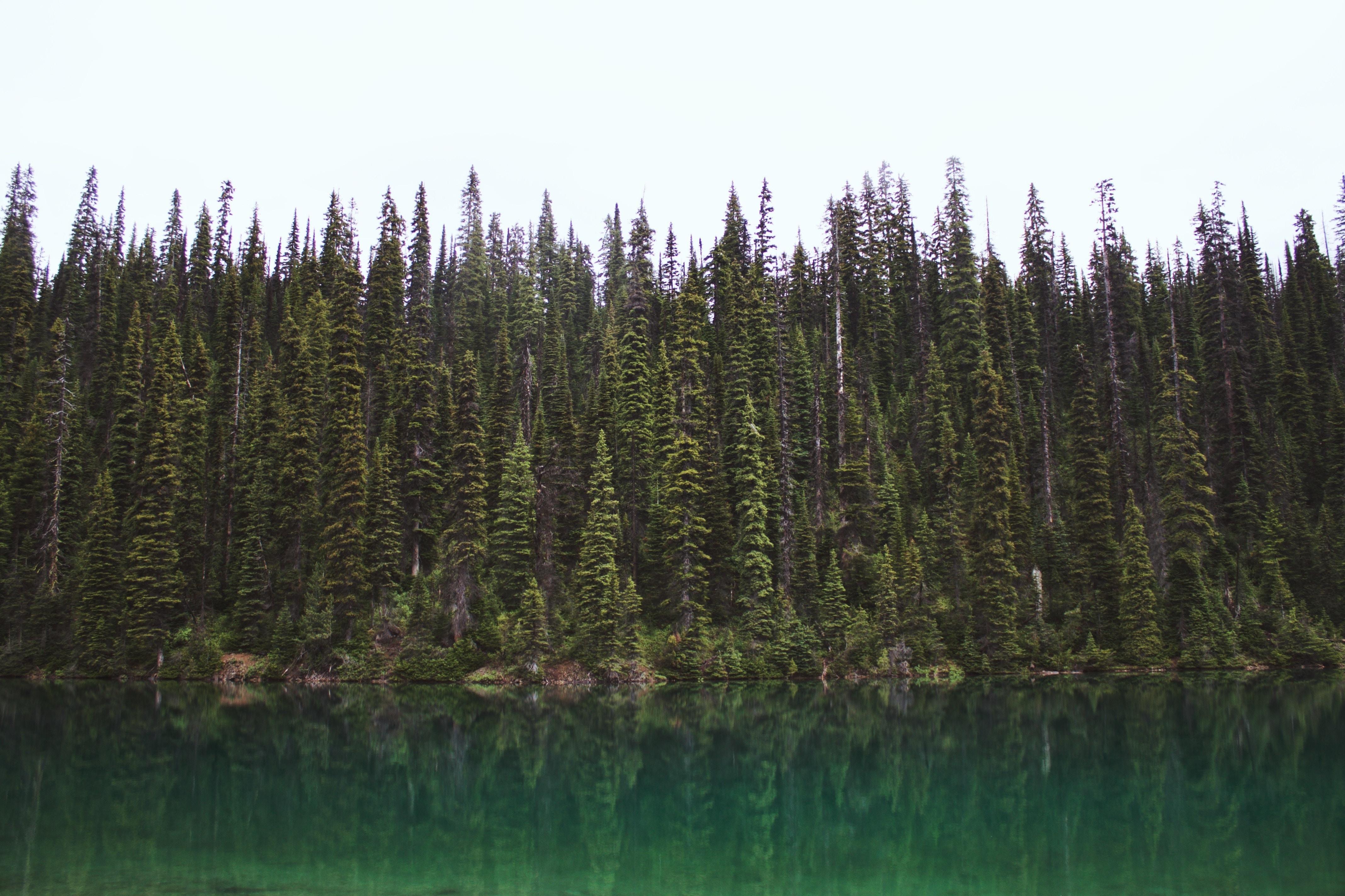green pine trees beside body of water