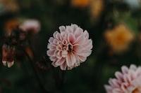 pink dahlia in bloom in the garden