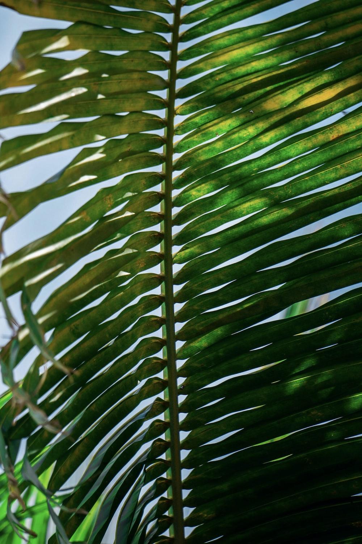 dried coconut tree leaf