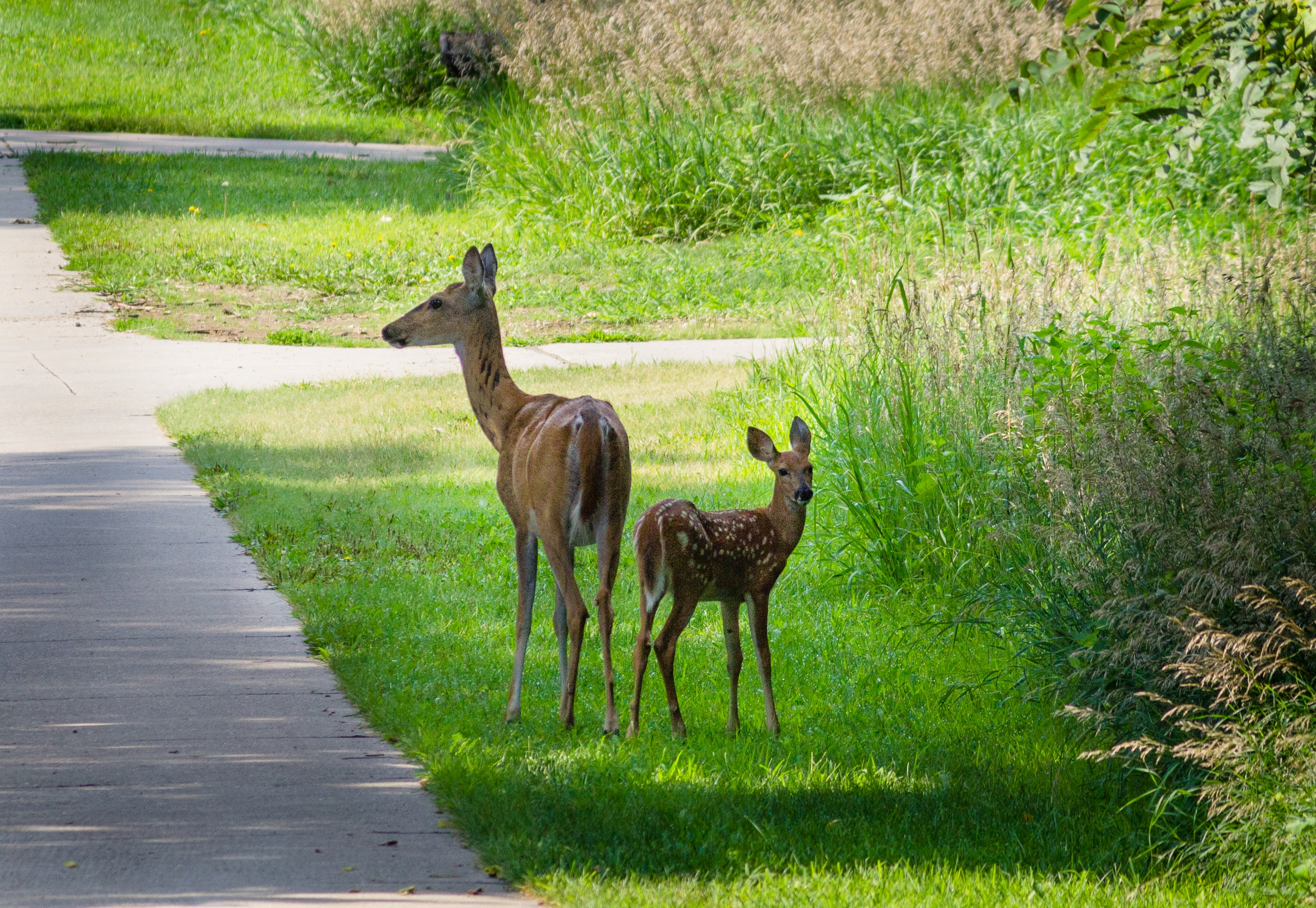 two deers on grass