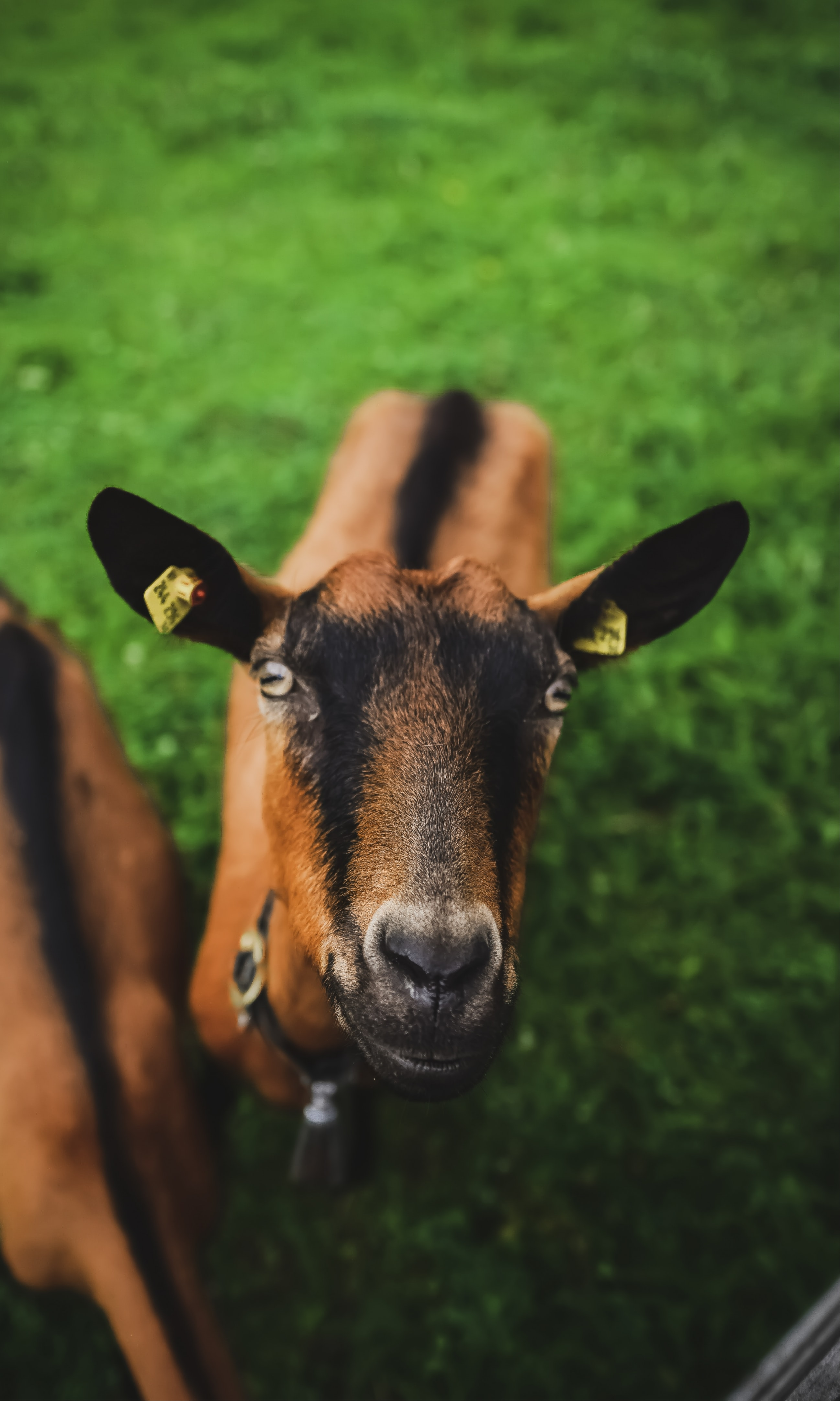 brown and black goat on green grass