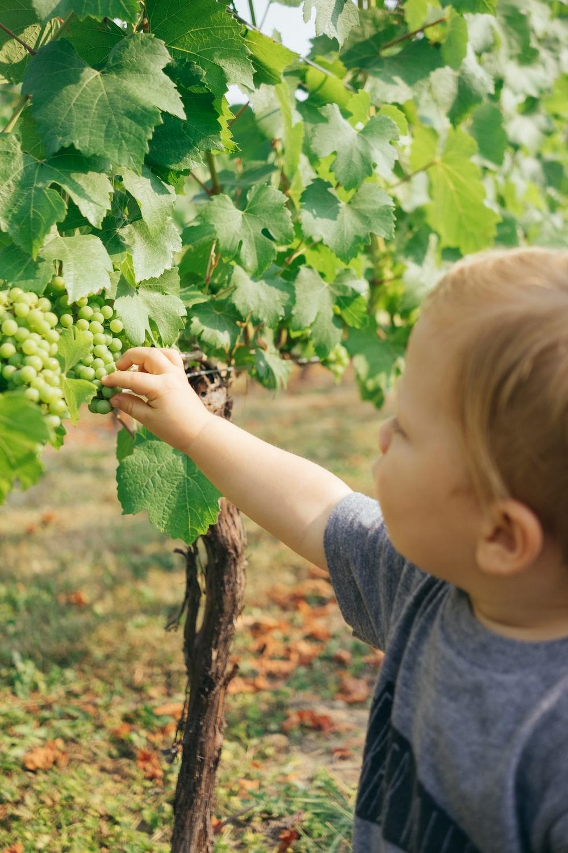 boy picking white grapes