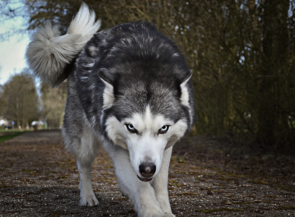 white and gray wolf