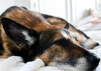 short-coated brown and black dog lying on bed