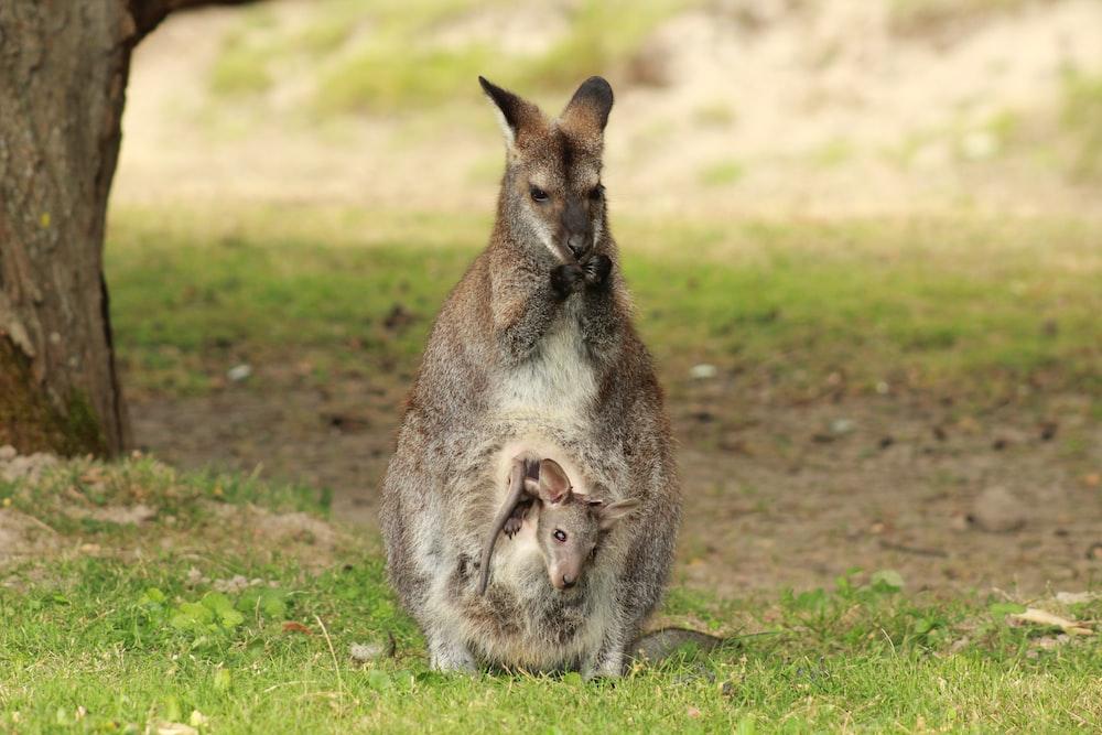 brown kangaroo on grass