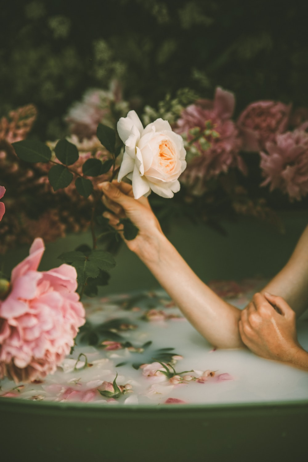 person holding white rose flower