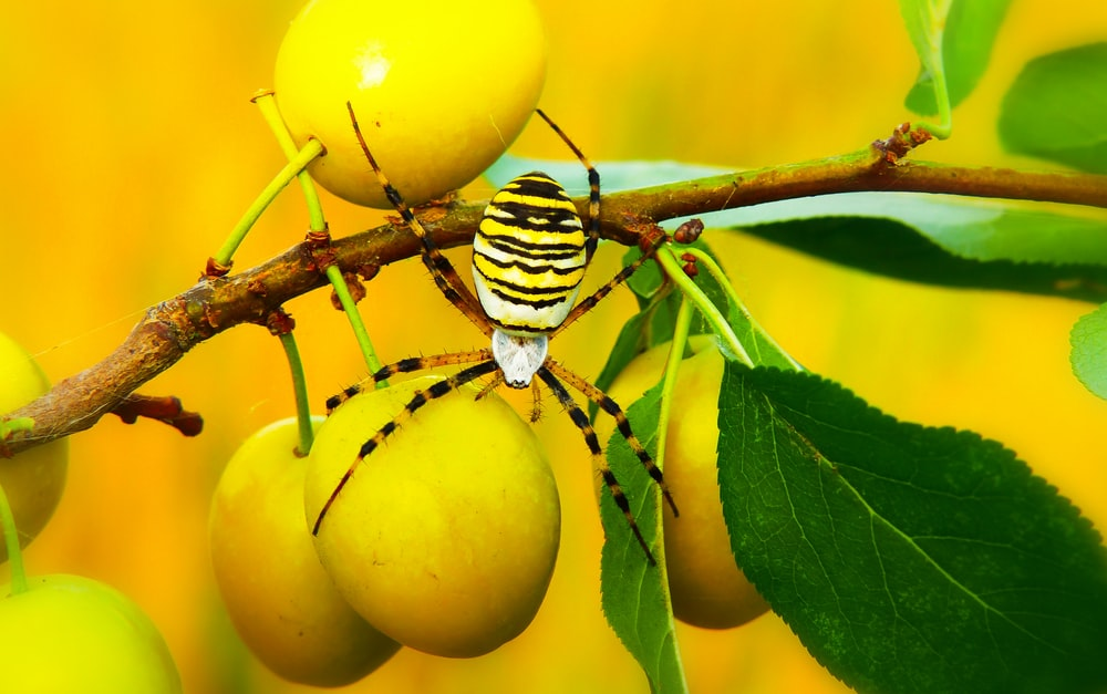 yellow and black spider