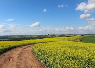 pathway between yellow flower field