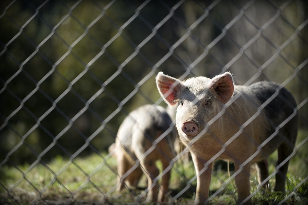 depth of field photography of white and black pig