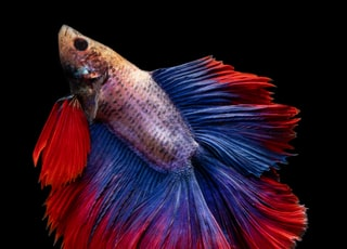 full-moon betta fish