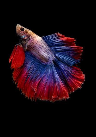 full-moon betta fish
