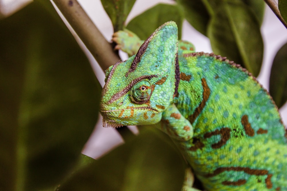 cameleon on brown branch