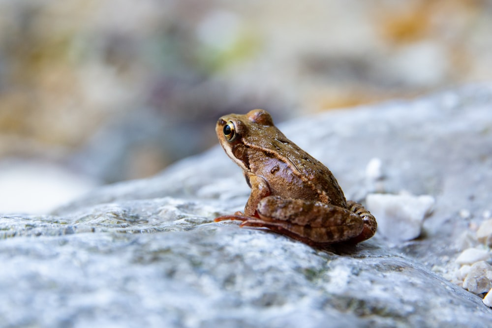closeup photography of frog on stone
