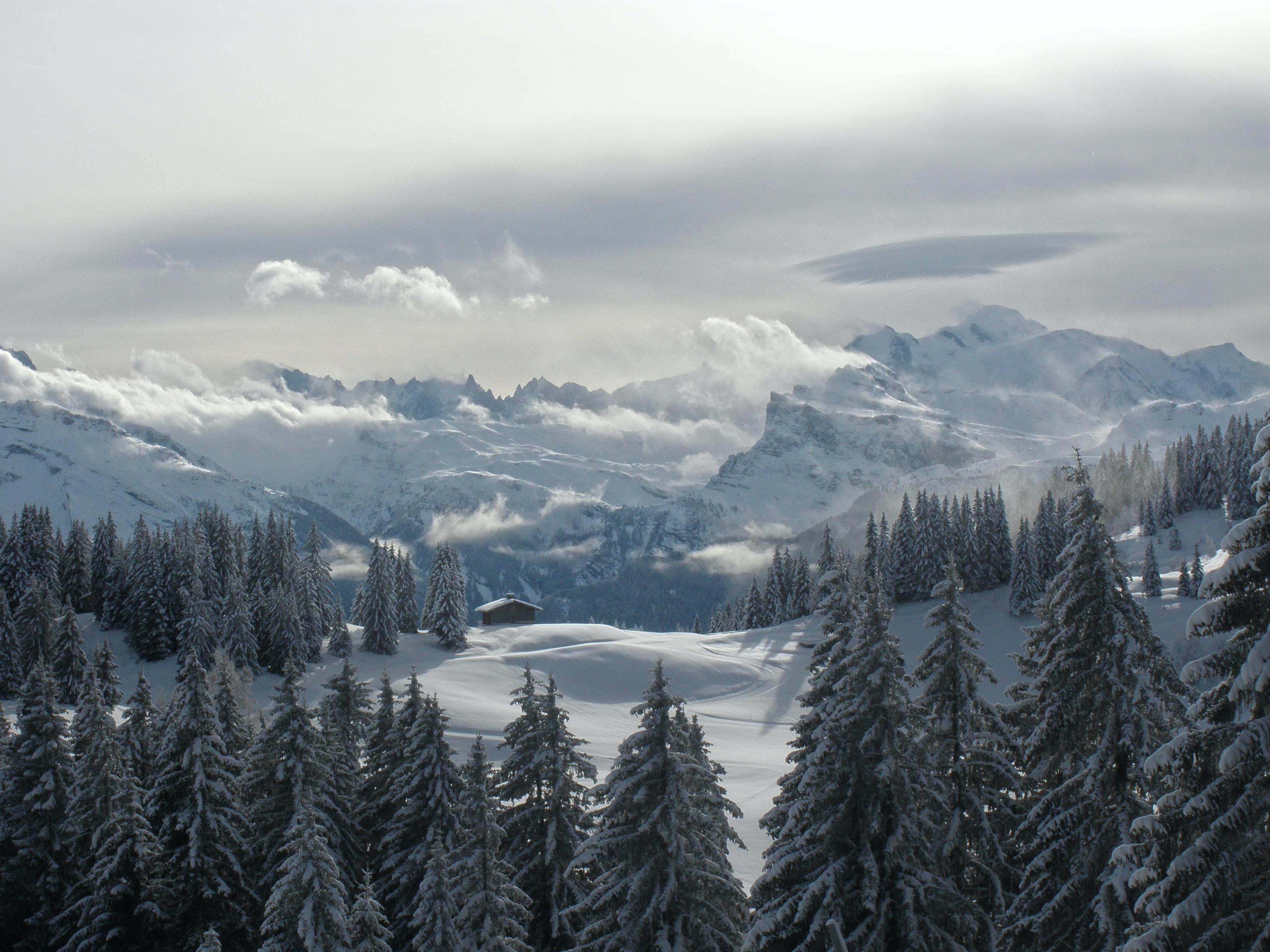 pine trees in winter season