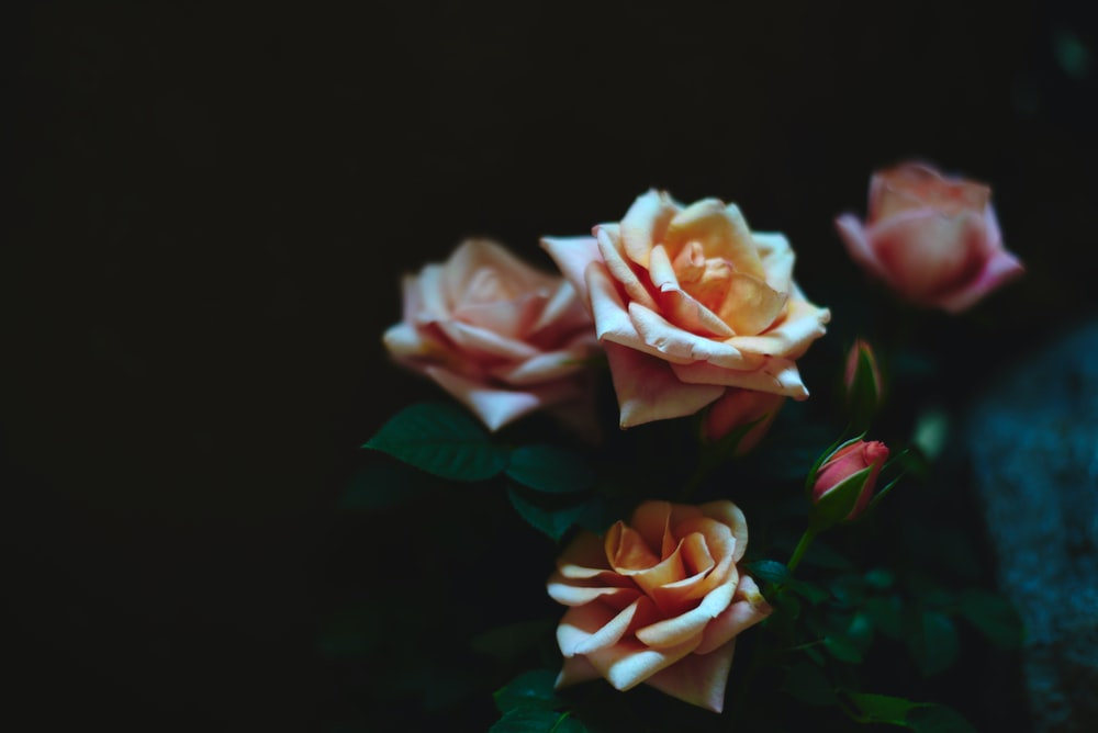 tilt photography of orange rose