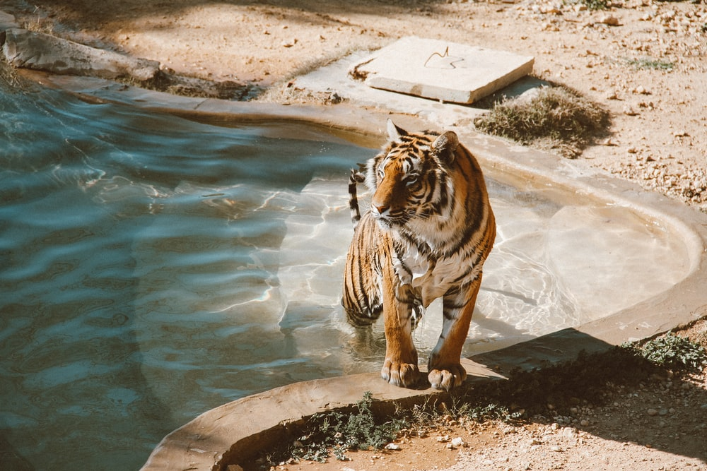 tiger walking from the pool