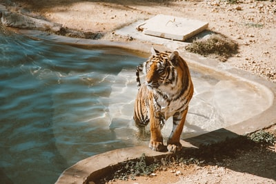 tiger walking from the pool tunisia teams background