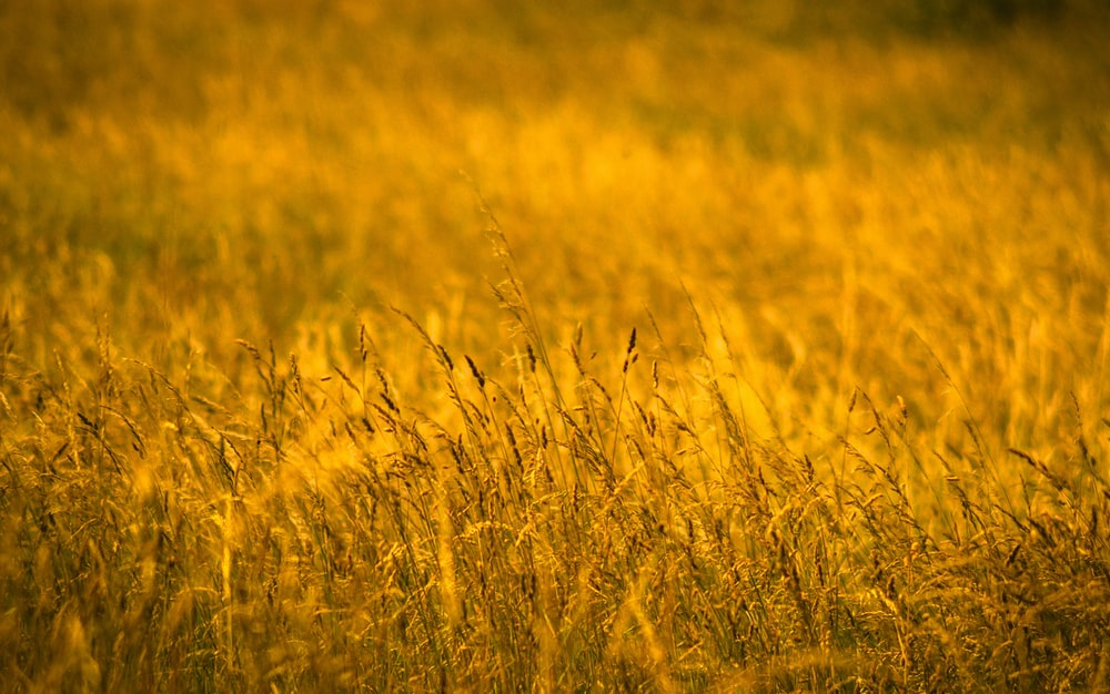 yellow and green grass field