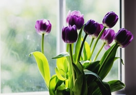 purple tulips beside window