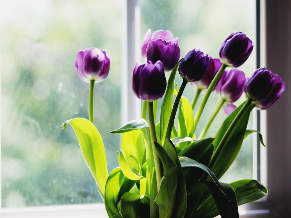 purple tulips beside window