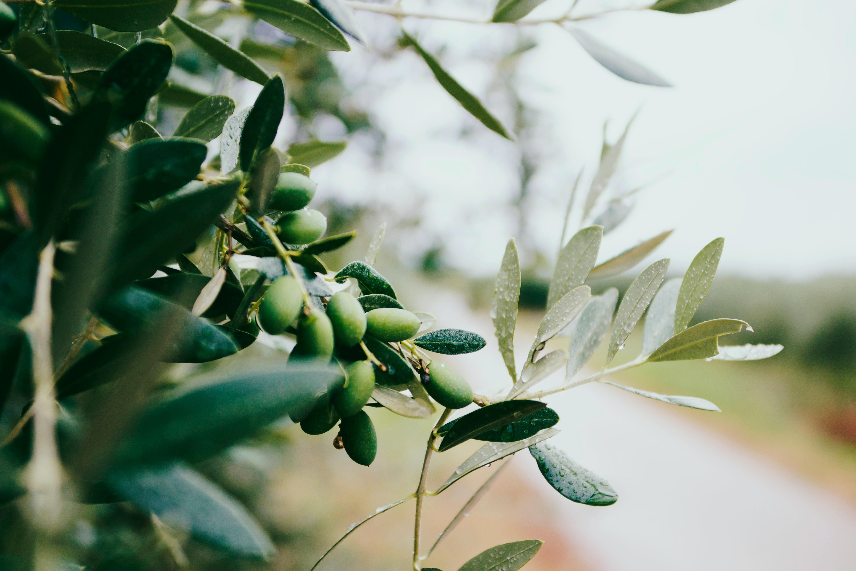 Olive Oil Selo Oils Selo Living