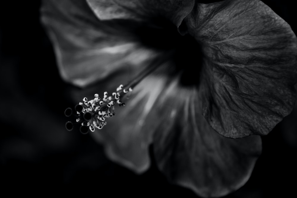 grayscale photo of hibiscus flower