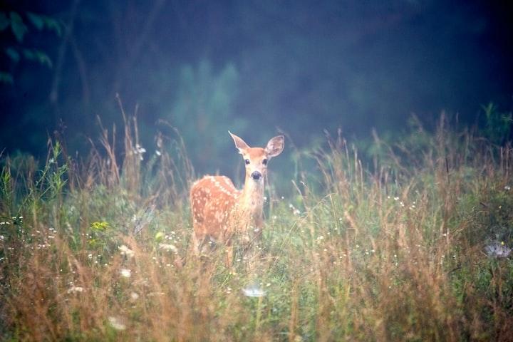 Guide Me Thou Spirit Animal Deer
