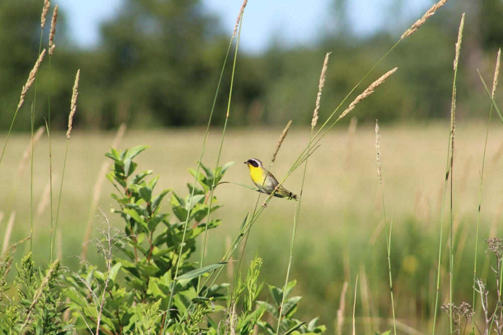 yellow bird perched on green grass