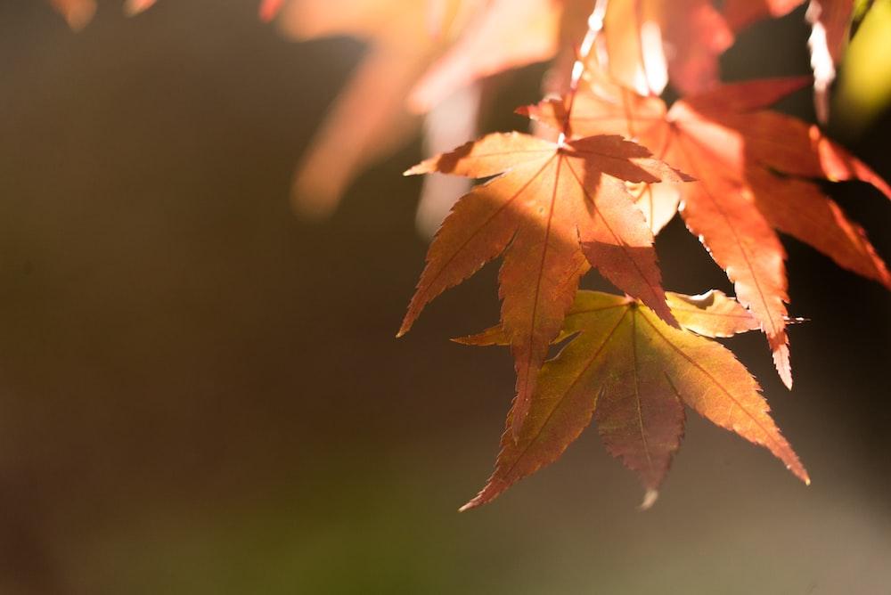 selective photo of orange maple leafed