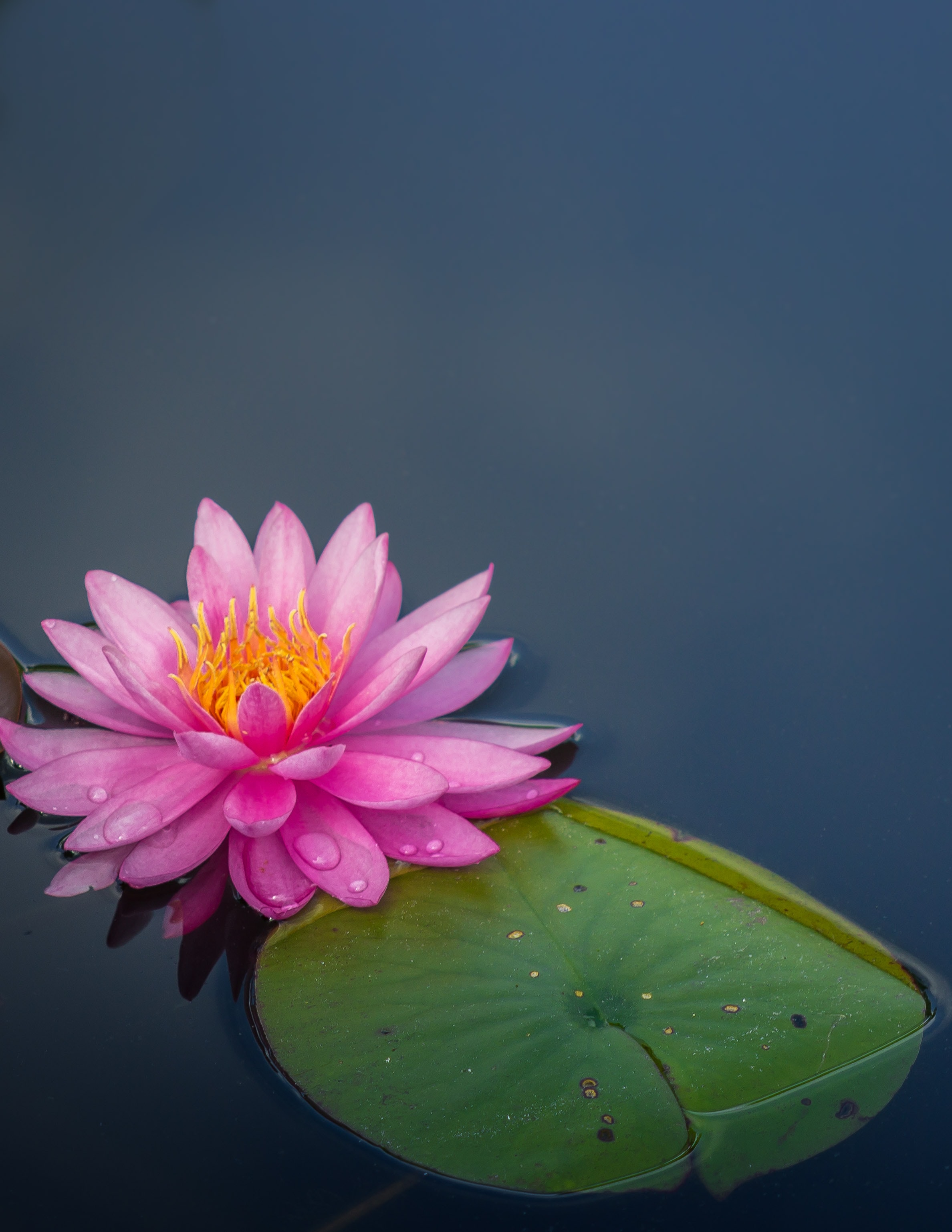 pink lotus flower on body of water