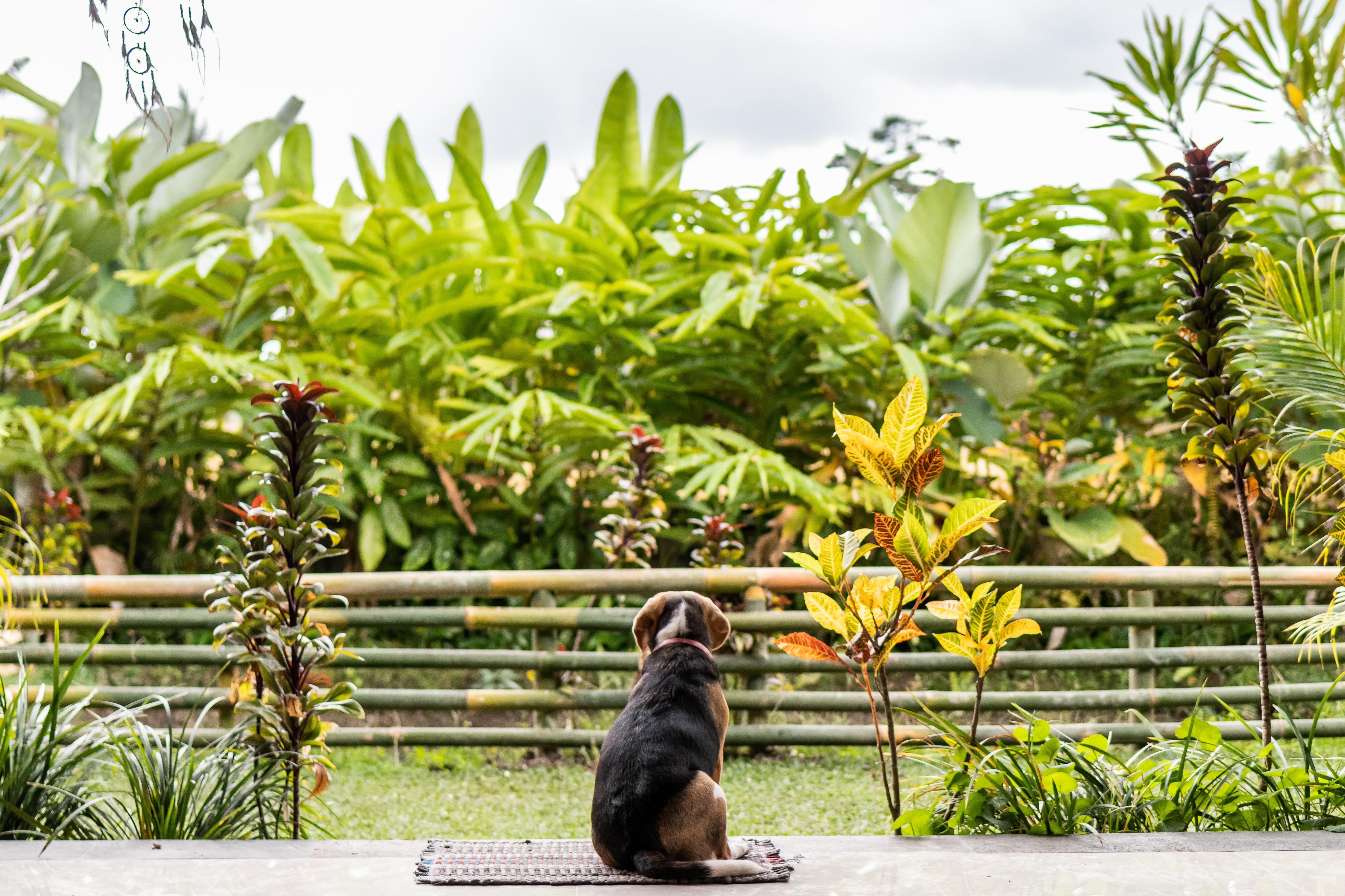 adult tricolor beagle sitting on area rug outdoor near plants during day