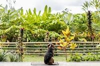 Beagle dog in the tropical garden of Bali island