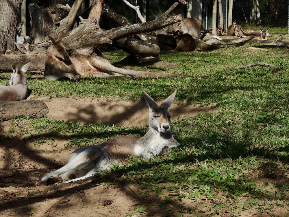 resting kangaroos
